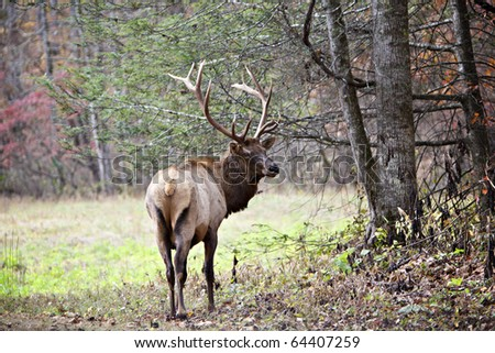 Beautiful male Elk with large antlers standing at the edge of meadow and forest