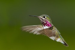 beautiful male humming bird in mid air with a natural green background