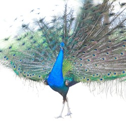 Beautiful Male Indian  Peacock displaying tail feathers Isolated On White Background,Side view