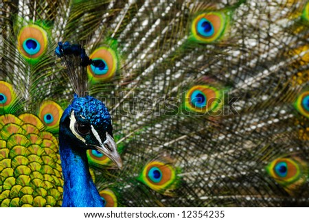 beautiful male indian peacock showing its feathers (Pavo cristatus)