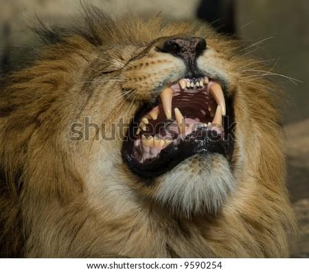 beautiful male lion showing its teeth