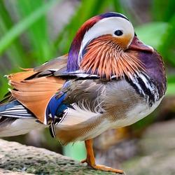 Beautiful male Mandarin Duck (Aix galericulata)