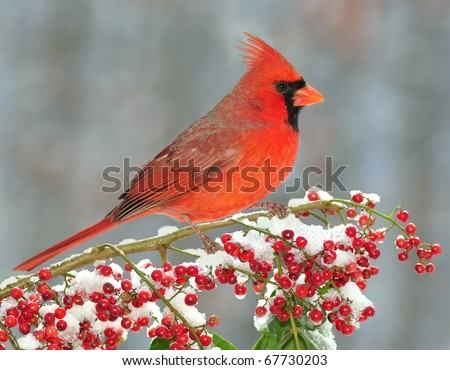Beautiful male Northern Cardinal (Cardinalis cardinalis) resting on a snowy branch laden with red berries.