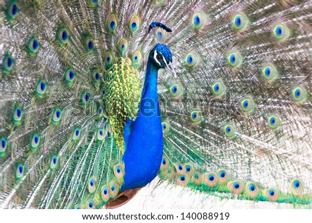 Beautiful male peacock displaying the colourful feathers of its fanned out tail in a mating ritual. Photo taken with shallow depth of field.