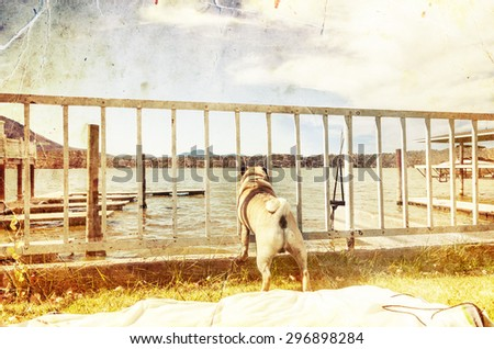 Beautiful male pug dog looking through the fence on the water of the lake and boats, blue sky in the sunny day