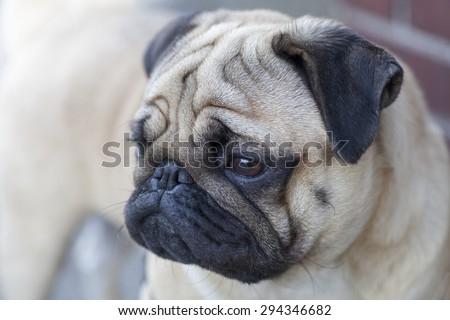Beautiful male Pug puppy with a sad face very serious siting in front of the light gray background