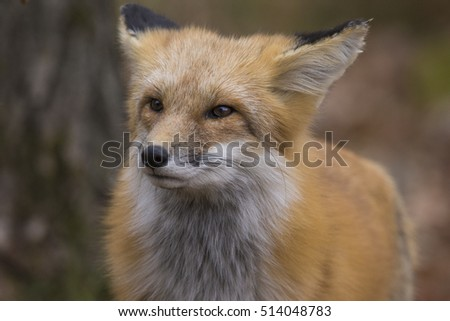 Beautiful male red fox in autumn #514048783