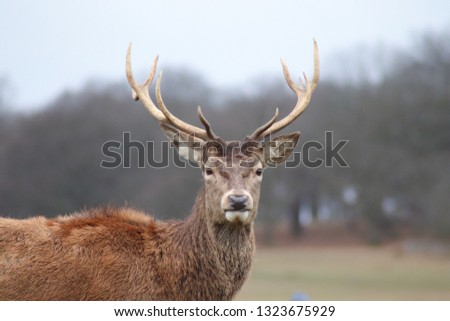 Beautiful male stag (Cervus Elaphus) in Richmond Park, London. The stag has big antlers and a strong body. #1323675929