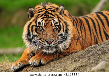 Beautiful male tiger crouching on a rock ready to pounce - stock photo