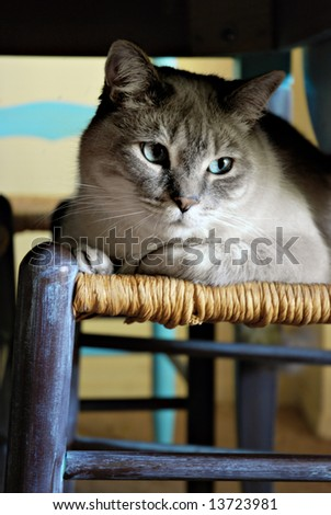 Beautiful male Tonkinese-mix cat hiding underneath a dining room table on a chair