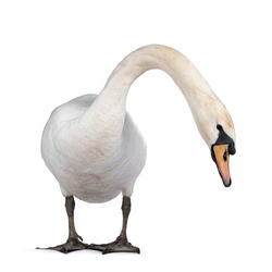 Beautiful male white Mute swan, standing facing front. Looking to camera. Head and neck stretched side ways looking for food. Isolated on white background.