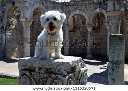 beautiful maltese dog