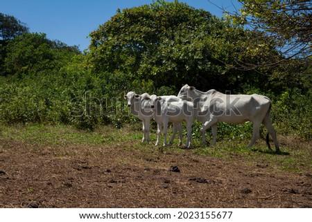 beautiful mammal animals called zebu eating free in the wild. Human food Foto stock ©