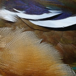 Beautiful Mandarin duck feathers, texture abstract background