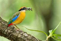 Beautiful Mangrove Pitta bird with prey in Mangrove forest, Phang-Nga Bay, Southern Thailand. Mangrove Pitta hunting