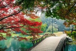 Beautiful maple leaves and Small bridge in Chinese garden during Fall season
