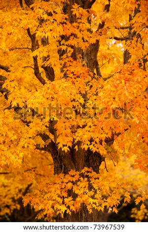Beautiful maple tree in autumn colors, New England