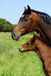 Beautiful mare and foal on a meadow