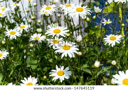 beautiful marguerites, with shallow depth of field