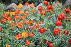 Beautiful Marigold flower HD image