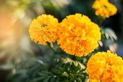 beautiful Marigold flower (Tagetes erecta, Mexican, Aztec or African marigold) in the garden.