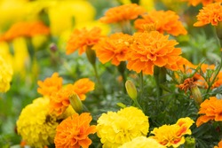 beautiful marigolds flowers bloom in the garden nature background. (Tagetes erecta, Mexican marigold, African marigold)