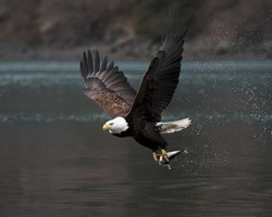 Beautiful Mature Bald Eagle flying with a fish. Nice light.