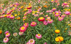 Beautiful meadow wildflowers in the mountains of northern Thailand. Xerochrysum Asteraceae or Bracteantha with bright colors. Endless flower fields of golden everlasting or strawflower, Southeast Asia