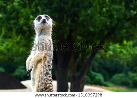 Beautiful meerkat on a background of green trees. Close-up. Wild animals. Wild nature.