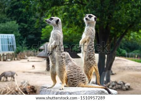 Beautiful meerkats on the stone. Wild animals. Wild nature.