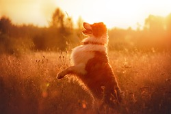 Beautiful merle aussie australian shepherd dog on summer sunset in grassland
