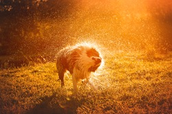 Beautiful merle aussie australian shepherd dog on summer sunset in grassland with splashes