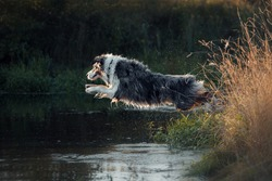 Beautiful merle aussie australian shepherd dog on summer sunset jumping in river