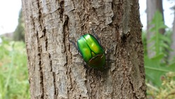 Beautiful Metalic Green Colorful Insect European Rose Chafer Macro Close up. Cetonia Aurata Beetle Climbing on a Tree Trunk in Spring
