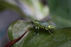 Beautiful metallic green beetle on a leaf.