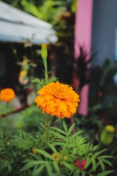 Beautiful mexican marigold flower,mexican marigold in the garden,new mexican marigold stock image.