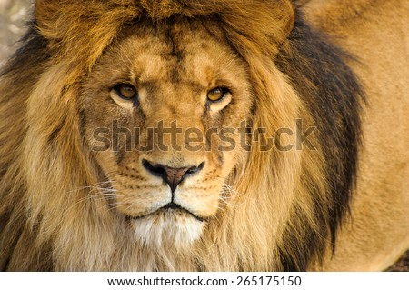 Beautiful Mighty Lion #265175150