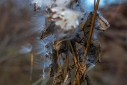 beautiful milkweed seeds. dry stalks and milkweed seeds