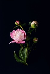 beautiful minimalistic bouquet of open flowers and buds of peony flowers on a black background. moody floral, vertical composition, flat lay.