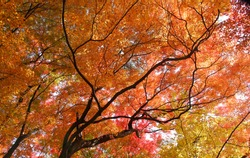 Beautiful mixed of green, yellow, orange and red maples blazes brightly in sunny day before it falls for autumn, South Korea