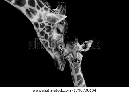 Beautiful Mom And Baby Giraffe Playing