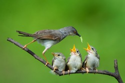 Beautiful moment of mother bird feed her little babies
