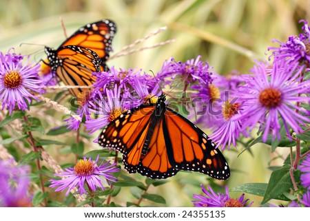 Beautiful monarch butterflies in garden of purple asters.  Soft focus background.