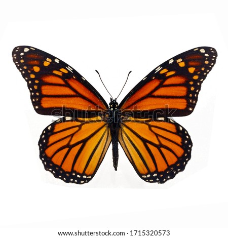 beautiful monarch butterfly isolated on white background. Stock photo ©