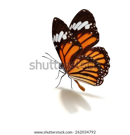 Beautiful monarch butterfly isolated on white background