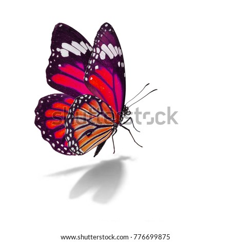 Beautiful monarch butterfly isolated on white background #776699875