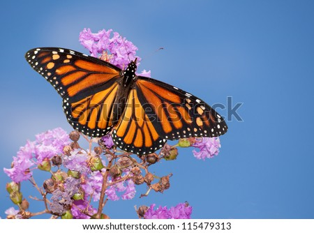 Beautiful Monarch butterfly on a purple Crape Myrtle against blue summer sky - stock photo