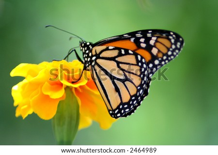Beautiful Monarch butterfly perched on a bright yellow flower. - stock photo