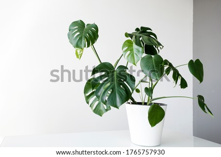 Beautiful monstera flower in a white pot stands on a table on a white background. The concept of minimalism. Monstera deliciosa or Swiss cheese plant in pot tropical leaves background.