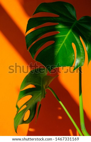 Beautiful Monstera on an orange background. Monstera in a modern interior. Minimalism concept. Background for the site